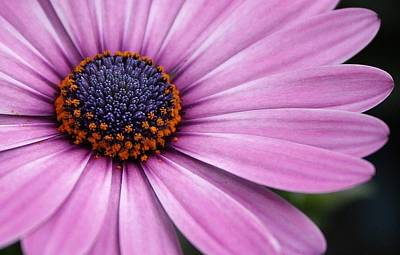 Photograph - Daisy Delight by Bruce Bley