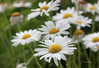 Photograph - Daisy Delight by Suzanne Gaff