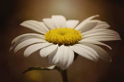 Photograph - Daisy by Erica Kinsella