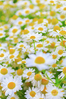Photograph - Daisy Garden by Verena Matthew
