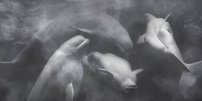 Energy Photograph - Dancing Belugas  by Betsy Knapp