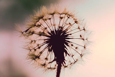 Photograph - Dandelion Glow by Kay Brewer