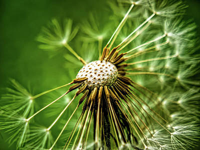 Photograph - Dandelion by Elijah Knight