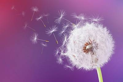 Photograph - Dandelion Flying On Magenta Background by Bess Hamiti