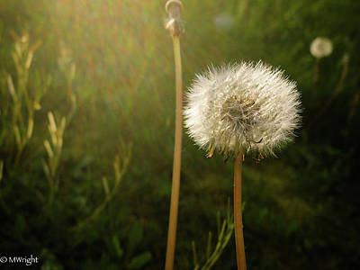 Photograph - Dandelion  by Michele Wright