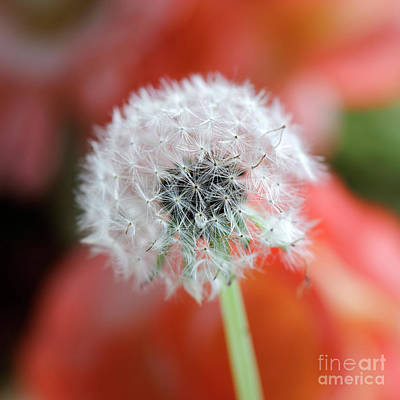 Photograph - Dandelion by Nicholas Burningham
