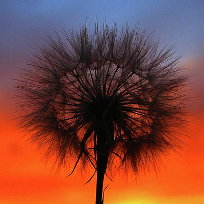 Photograph - Dandelion by Paul Marto