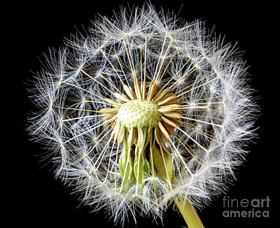Photograph - Dandelion Seed Head by Colin Rayner