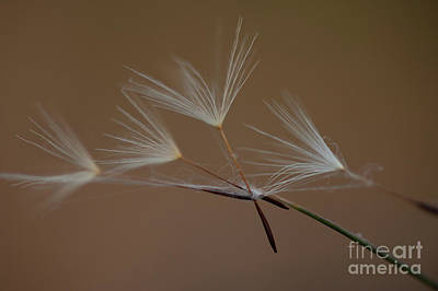 Photograph - Dandelion Seeds Caught by Jim Corwin