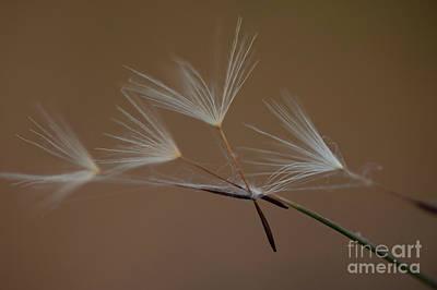 Photograph - Dandelion Seeds Caught by Jim Corwin