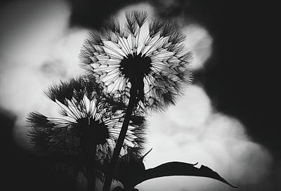 Photograph - Dandelions At Sunset by Pixabay
