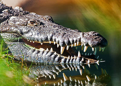 Reptiles Royalty-Free and Rights-Managed Images - Dangerous American Crocodile In Water by Susan Schmitz