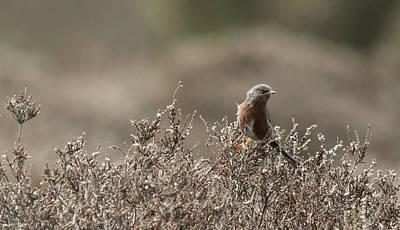 Photograph - Dartford Warbler by Wendy Cooper