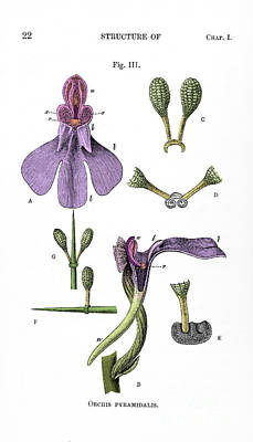 Photograph - Darwins Orchis Pyramidalis, Illustration by Science Source