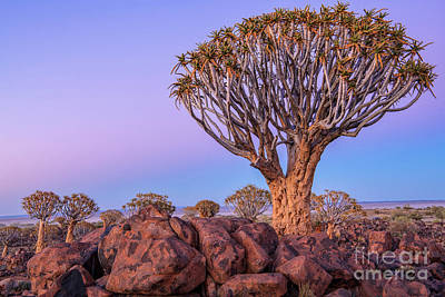 Photograph - Dawn At The Quiver Trees by Sandra Bronstein