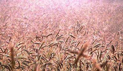 Photograph - Dawn In The Wheatfield by Angela Davies