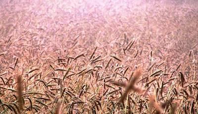 Photograph - Dawn In The Wheatfield by Angela Davies