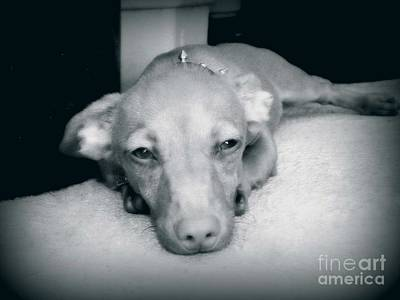 Puppy Photograph - Day Dreaming Doxie by Leah McPhail