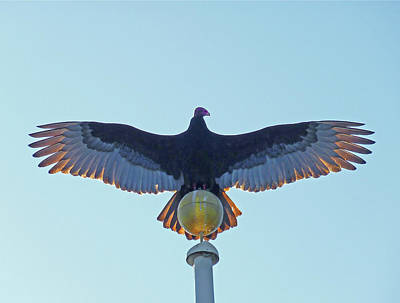 Photograph - Db6347 Turkey Vulture On Our Flagpole by Ed Cooper Photography