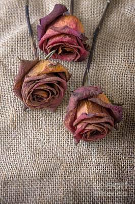 Decline Photograph - Dead Roses by Carlos Caetano