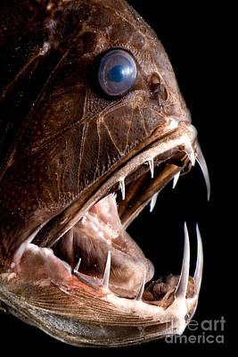 Photograph - Deep Sea Fangtooth by Dante Fenolio