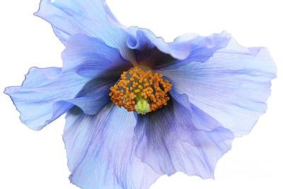 Photograph - Delicate Blue by Cindy Manero