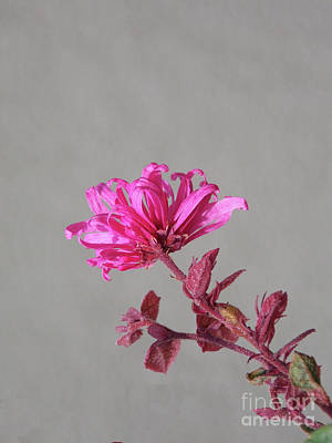 Delicate In Pink Art Print by Skip Willits