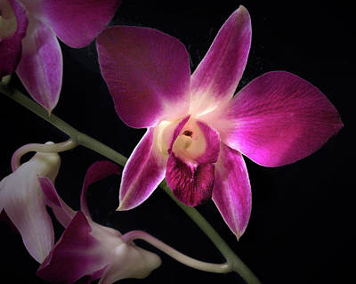 Photograph - Dendrobium Orchid  by Nancy Griswold