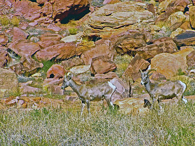 Photograph - Desert Bighorn Sheep In Arches National Park, Utah by Ruth Hager
