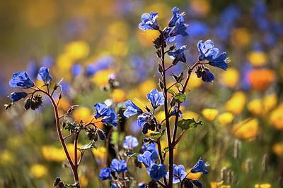 Photograph - Desert Bluebells  by Saija Lehtonen