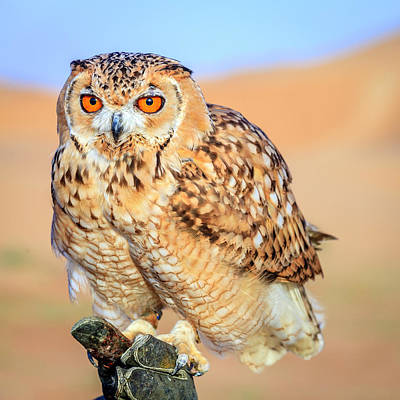 Photograph - Desert Eagle Owl by Alexey Stiop