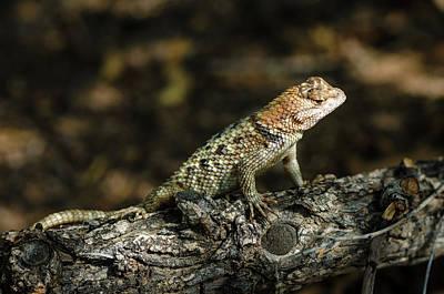 Photograph - Desert Spiny Lizard by Emily Bristor