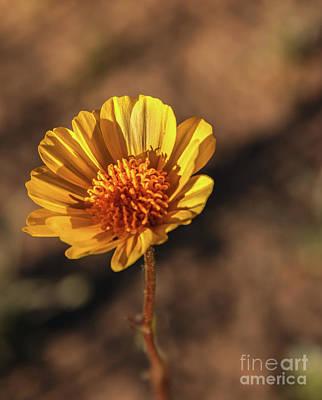 Art Print featuring the photograph Desert Sunflower by Robert Bales