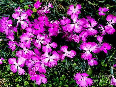 Photograph - Dianthus by William Norton