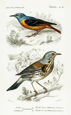 Painting - Different Types Of Illustrated Birds by Charles Dessalines D' Orbigny