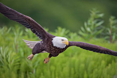 Eagle Photograph - Diving For Dinner by Tim Grams