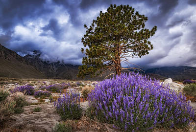 Mountain Royalty-Free and Rights-Managed Images - Division Creek Lupine by Cat Connor