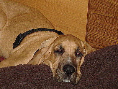 Photograph - Dog Tired by Val Oconnor