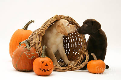 Chocolate Lab Photograph - Dogs In Basket With Pumpkins by Jane Burton