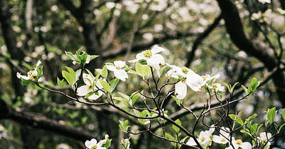 Photograph - Dogwood 6 by Andrea Anderegg