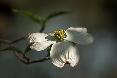 Photograph - Dogwood Bloom by Elsa Marie Santoro