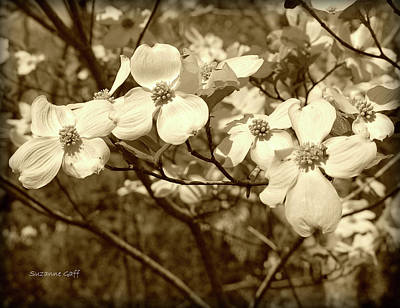 Photograph - Dogwood Blooms In Sepia by Suzanne Gaff