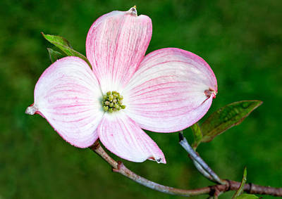 Photograph - Dogwood Blossom by Mary Jo Allen