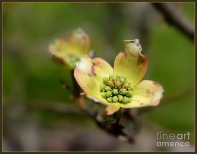 Photograph - Dogwood by Brenda Bostic
