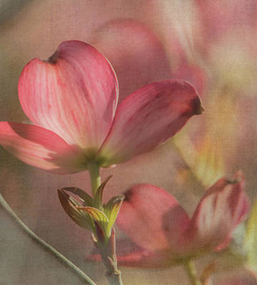 Dogwood Blossom Photograph - Dogwood Fantasy by Angie Vogel
