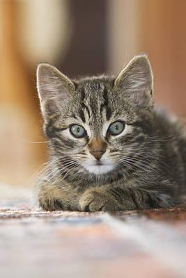 Domestic Cat Felis Catus Kitten Art Print