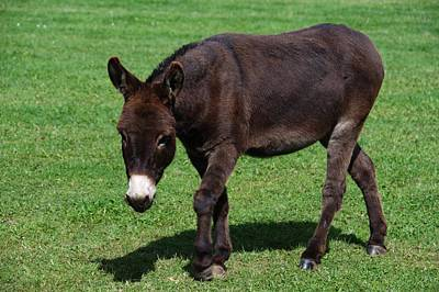 Photograph - Donkey by Chris Day