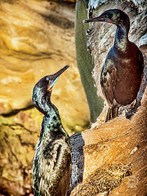 Photograph - Double-crested Cormorant by Daniel Hebard