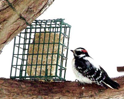 Digital Art - Downy Woodpecker by Aliceann Carlton
