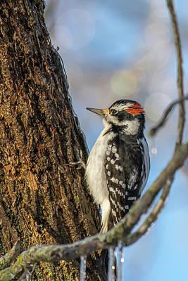 Downy Woodpecker Art Print by Irwin Seidman